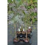 Bloemen-flowers Acacia baileyana Purpurea - Mimosa
