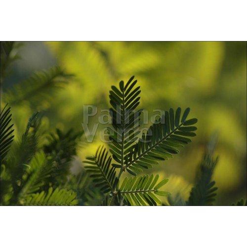 Bloemen-flowers Acacia dealbata Gauloise - Mimosa