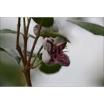 Bloemen-flowers Acca sellowiana - Braziliaanse guave