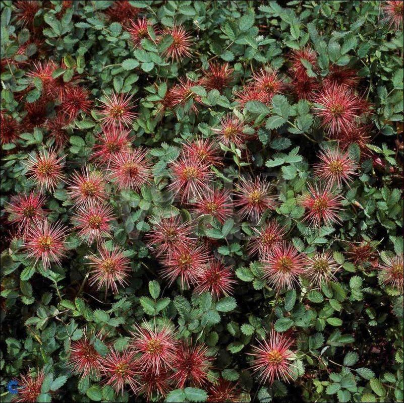 Acaena Microphylla Kupferteppich Palma Verde Exoten Vof