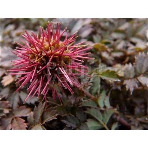 Blad-leaf Acaena microphylla Kupferteppich - Stekelnootje