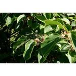 Eetbare tuin-edible garden Actinidia arguta Issai - Kiwberry - Siberian kiwi