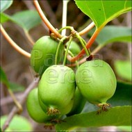 Eetbare tuin-edible garden Actinidia arguta Issai - Kiwibes - Siberische kiwi