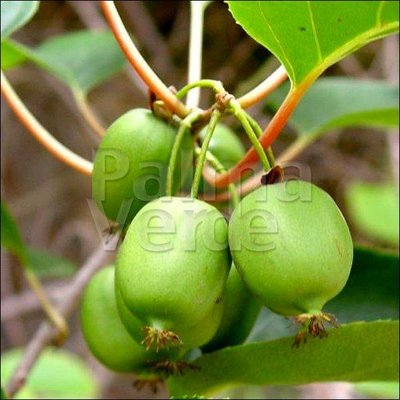 Eetbare tuin-edible garden Actinidia arguta Issai - Kiwbes - Siberische kiwi