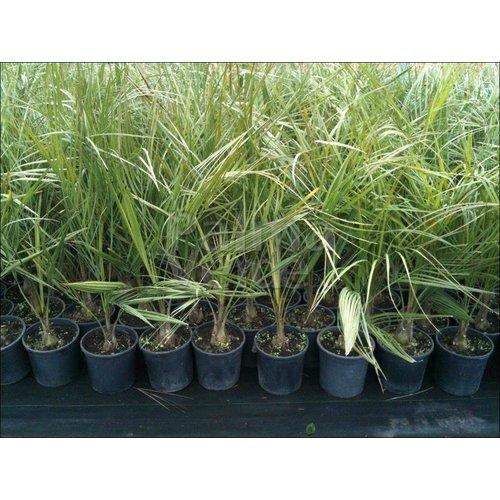 Palmbomen-palms Butia capitata - Jelly palm