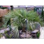 Palmbomen-palms Butia capitata - Geleipalm - Pindopalm - Jelly palm