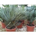 Palmbomen-palms Chamaerops humilis Cerifera