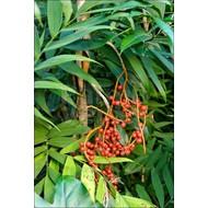 Palmbomen-palms Chamaedorea microspadix - Bamboepalm