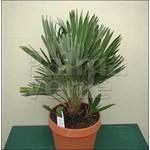 Palmbomen-palms Chamaerops vulcano
