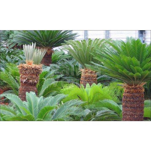 Palmbomen-palms Cycas revoluta - Palmvaren - Valse sagopalm