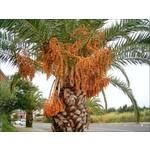 Palmbomen-palms Phoenix canariensis - Canary date palm