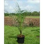 Palmbomen-palms Phoenix canariensis - Canarische dadelpalm