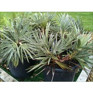 Palmbomen-palms Trithrinax campestris