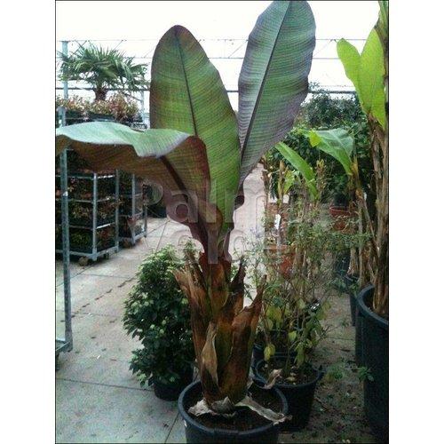 Bananen-bananas Ensete ventricosum Maurelli