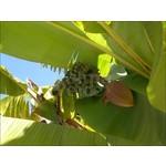 Bananen-bananas Musa basjoo
