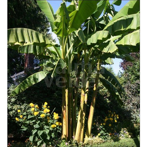Bananen-bananas Musa basjoo - Japanse vezelbanaan