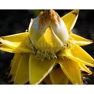 Bananen-bananas Musella lasiocarpa - Chinese lotusbanaan