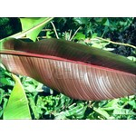 Bananen-bananas Musa sikkimensis Red Tiger - Darjeelingbanaan