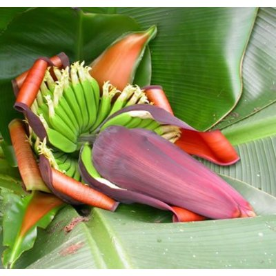 Bananen-bananas Musa sikkimensis Red Tiger - Darjeeling banana