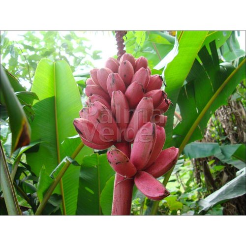 Bananen-bananas Musa velutina