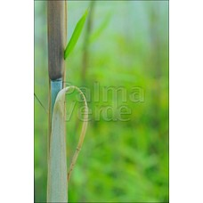 Bamboe-bamboo Fargesia angustissima - Borinda angustissima