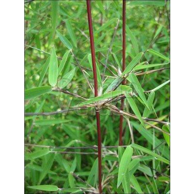 Bamboe-bamboo Fargesia jiuzhaigou 1