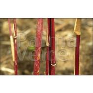 Bamboe-bamboo Fargesia jiuzhaigou Genf