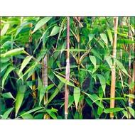Bamboe-bamboo Fargesia murieliae Nieuwe Generatie
