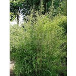 Bamboe-bamboo Fargesia nitida Great Wall