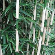Bamboe-bamboo Fargesia robusta Campbell