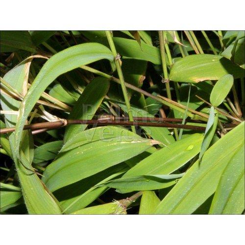 Bamboe-bamboo Fargesia rufa