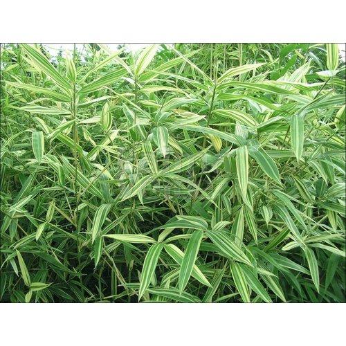 Bamboe-bamboo Hibanobambusa tranquillans Shiroshima