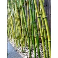 Bamboe-bamboo Phyllostachys aureosulcata
