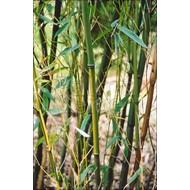 Bamboe-bamboo Phyllostachys humilis