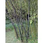 Bamboe-bamboo Phyllostachys nigra Punctata - Zwarte bamboe
