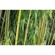 Bamboe-bamboo Phyllostachys viridiglaucescens