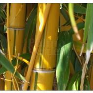 Bamboe-bamboo Phyllostachys vivax Aureocaulis