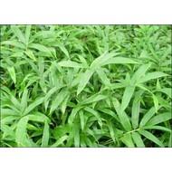 Bamboe-bamboo Pleioblastus pygmaeus - Dwergbamboe
