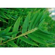 Bamboe-bamboo Pleioblastus pygmaeus Distichus - Pleioblastus distichus
