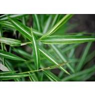 Bamboe-bamboo Pleioblastus shibuyanus Tsuboi