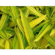 Bamboe-bamboo Pleioblastus viridistriatus Auricoma - Pleioblastus auricoma