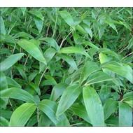 Bamboe-bamboo Sasa tsuboiana