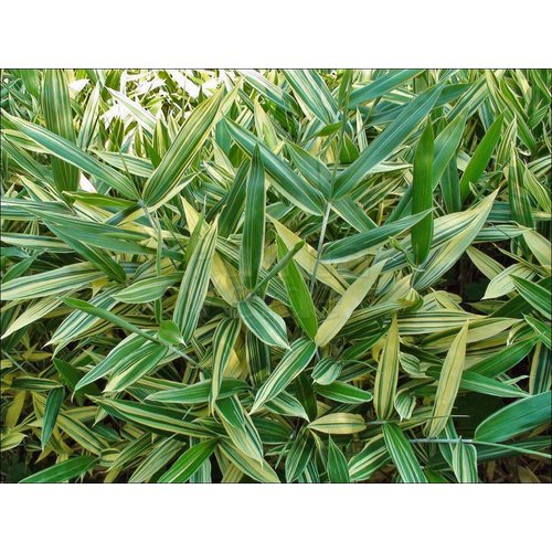 Bamboe-bamboo Sasa masamuneana Albostriata - Sasaella glabra Albostriata