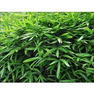 Bamboe-bamboo Sasaella ramosa - Pleioblastus viridistriatus Vagans