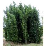Bamboe-bamboo Semiarundinaria fastuosa Viridis