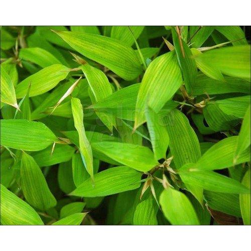Bamboe-bamboo Shibataea kumasasa