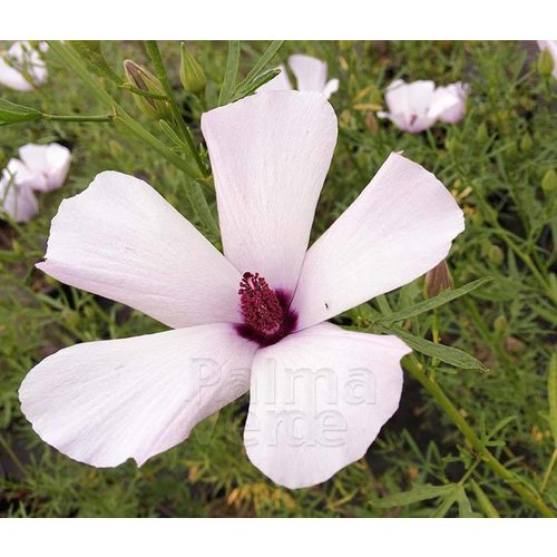 Bloemen-flowers Alyogyne Delightfully