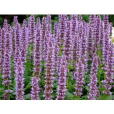Bloemen-flowers Agastache Blue Fortune - Anijsplant - Dropplant - Anijsnetel