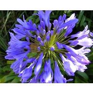 Bloemen-flowers Agapanthus africanus Dr. Brouwer - Afrikaanse lelie