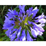 Bloemen-flowers Agapanthus Dr. Brouwer - Afrikaanse lelie